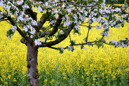 Apple blossom, Apple tree in the inflorescence Stock Photo
