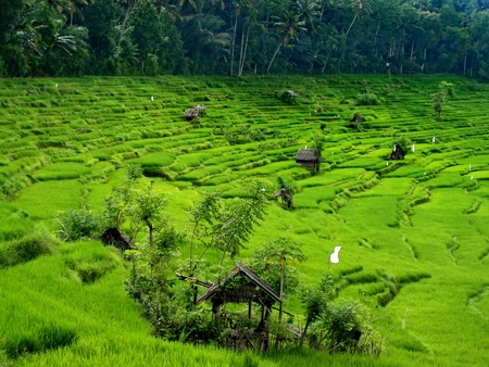 Balinese rice fields are created as terraces photo