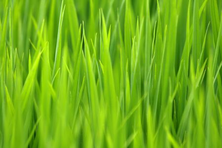 rice plant: Rice plant in bali is suitable as a background
