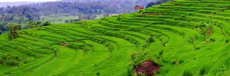 Balinese rice fields are created as terraces