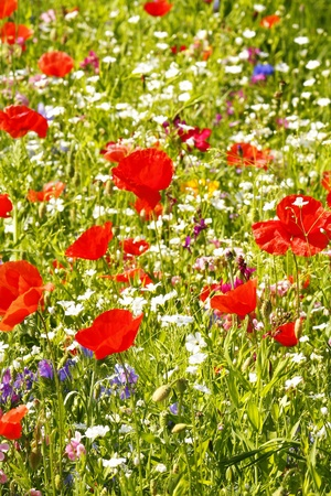 Field with flowers photo