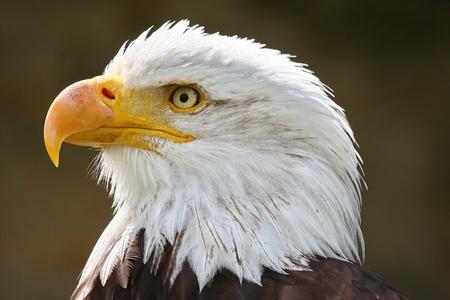 Weißkopfseeadler Bald Eagle Standard-Bild
