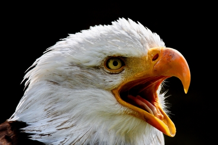 Wei�kopfseeadler Bald Eagle 免版税图像