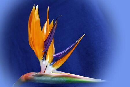the Helikonica a tropical plant Standard-Bild