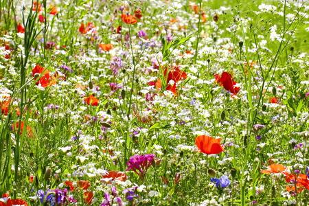 Flower meadow in summer with red poppies Standard-Bild - 114391390