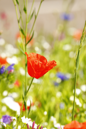 Flower meadow in summer with red poppies Standard-Bild - 114493781