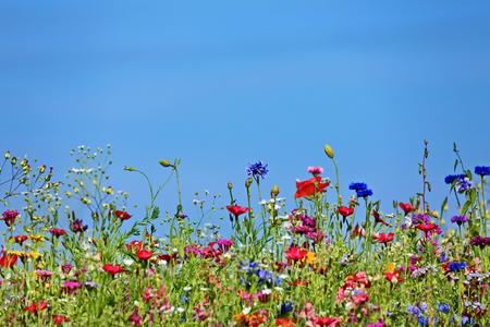 Bloemenweide in de zomer met blauwe lucht vanuit het perspectief van de muis