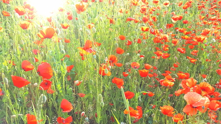 Flower meadow in summer with red poppies Banque d'images