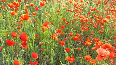 Flower meadow in summer with red poppies Standard-Bild - 114493811