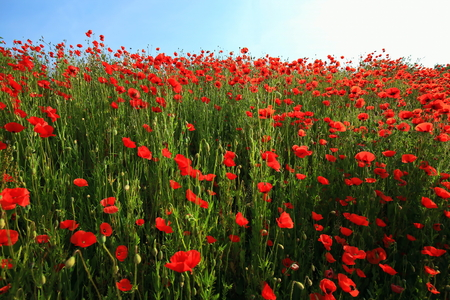 Flower meadow in summer with red poppies Standard-Bild - 114391508