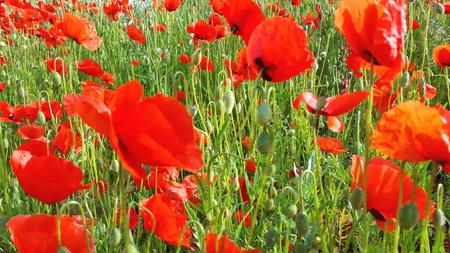 Flower meadow in summer with red poppies Standard-Bild - 114427240