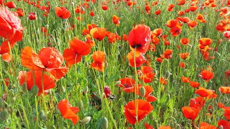 Flower meadow in summer with red poppies Standard-Bild - 114427267