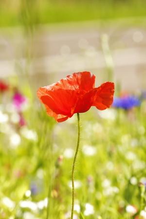 Flower meadow in summer with red poppies Standard-Bild - 114391596