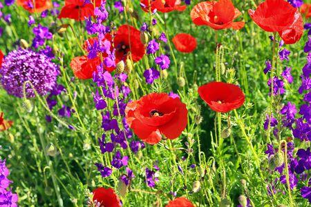 een prachtige kleurrijke bloemenweide met klaprozen