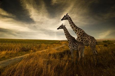 Giraffes and The Landscape Zdjęcie Seryjne