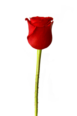 Perfect single red rose isolated on white