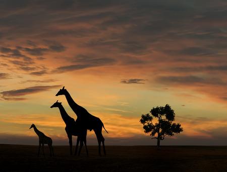 Giraffe during african sunset Zdjęcie Seryjne