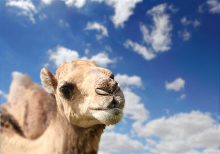 one humped: Camel head agaisnt sky on the background Stock Photo