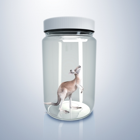 Adult kangaroo standing inside a glass jar Stock Photo - 15106864