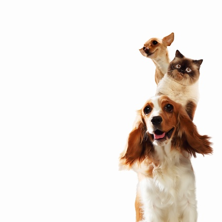 perros jugando: Tres animales dom�sticos en casa junto a la otra en un collage divertido fondo luz