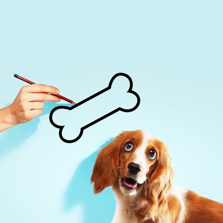 Image of golden hungry spaniel looking at bone photo