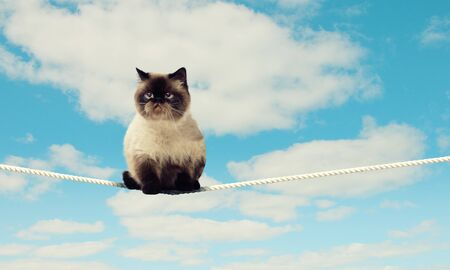 Image of siamese cat sitting on rope high in sky photo