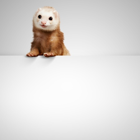 Image of funny polecat sitting on blank banner  Place for text photo