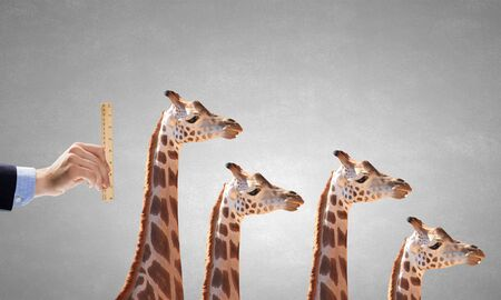 metre: Close up of male hand measuring giraffe with ruler Stock Photo