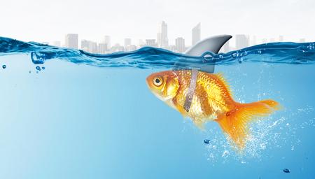 pez dorado: Poco pez en el agua que llevaba aleta de tiburón para asustar a los depredadores
