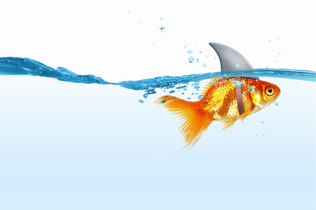 goldfishes: Little goldfish in water wearing shark fin to scare predators Stock Photo