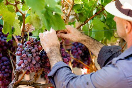 50 54 years: Man wearing hat picking grapes in vineyard
