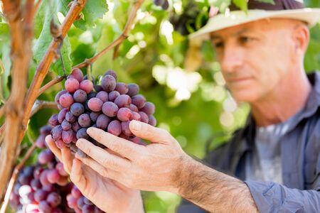 50 54 years: Man wearing hat haversting grape in vineyard Stock Photo