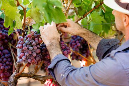 Man wearing hat picking grapes in vineyard