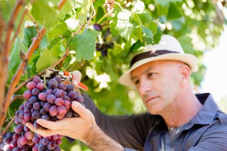 food inspection: Man wearing hat haversting grape in vineyard Stock Photo