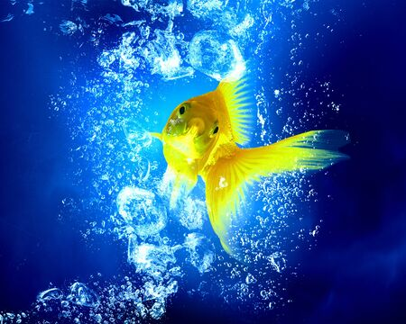 blue fish: Gols fish swim in clear blue water Stock Photo