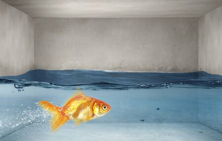 Gold fish swimming in clear blue water