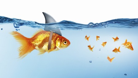 dangerous ideas: Gold fish in water with shark flip on back Stock Photo