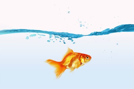 blue fish: Gold fish swimming in clear blue water Stock Photo