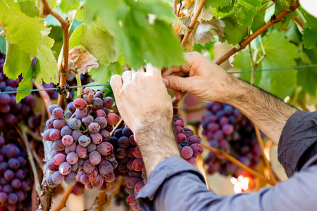 Hands holding red grapes in the vineyard Stock Photo