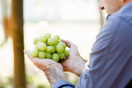 Man holding grapes in the vineyard Imagens