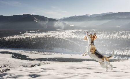 Beagle dog playing in snow