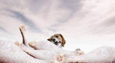 Beagle dog dreams about having a slice of meat. Mixed media 写真素材