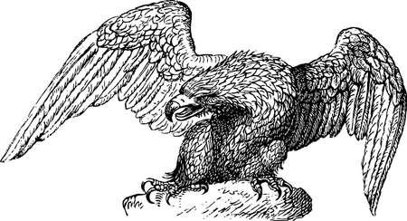 halcones: Detalle Eagle 01 Vectores