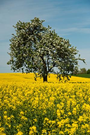 Isolated tree in rape field