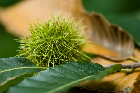 buckeye tree: Chestnut closeup in the forest