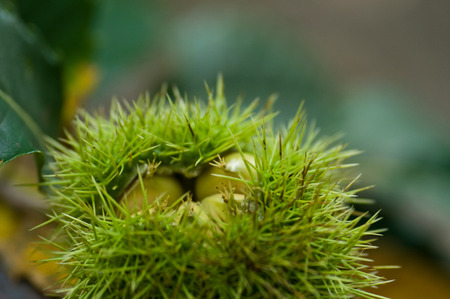 buckeye seed: Chestnut closeup in the forest