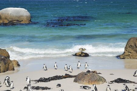 cape of good hope: penguins on the savage beach and rocks at Cape of good hope reserve - South Africa