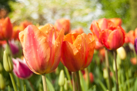 tulips field: group  of orange Tulips in a tulips field Stock Photo
