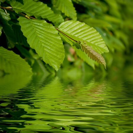 charm tree leaves on the water reflection Stock Photo