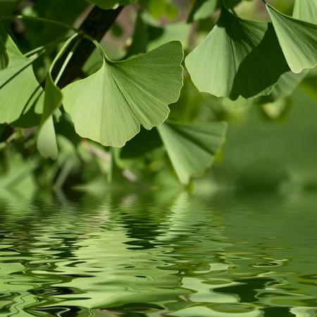 reflexion: Ginkgo leaves reflexion